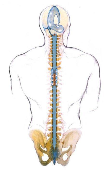 Craniosacral spine